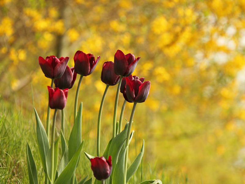 Hintergrundbild frühling - tulpen