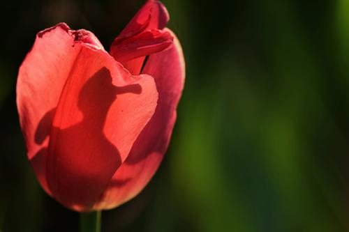 Blumenbild rote tulpe