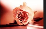rosa Rose auf Büchern
