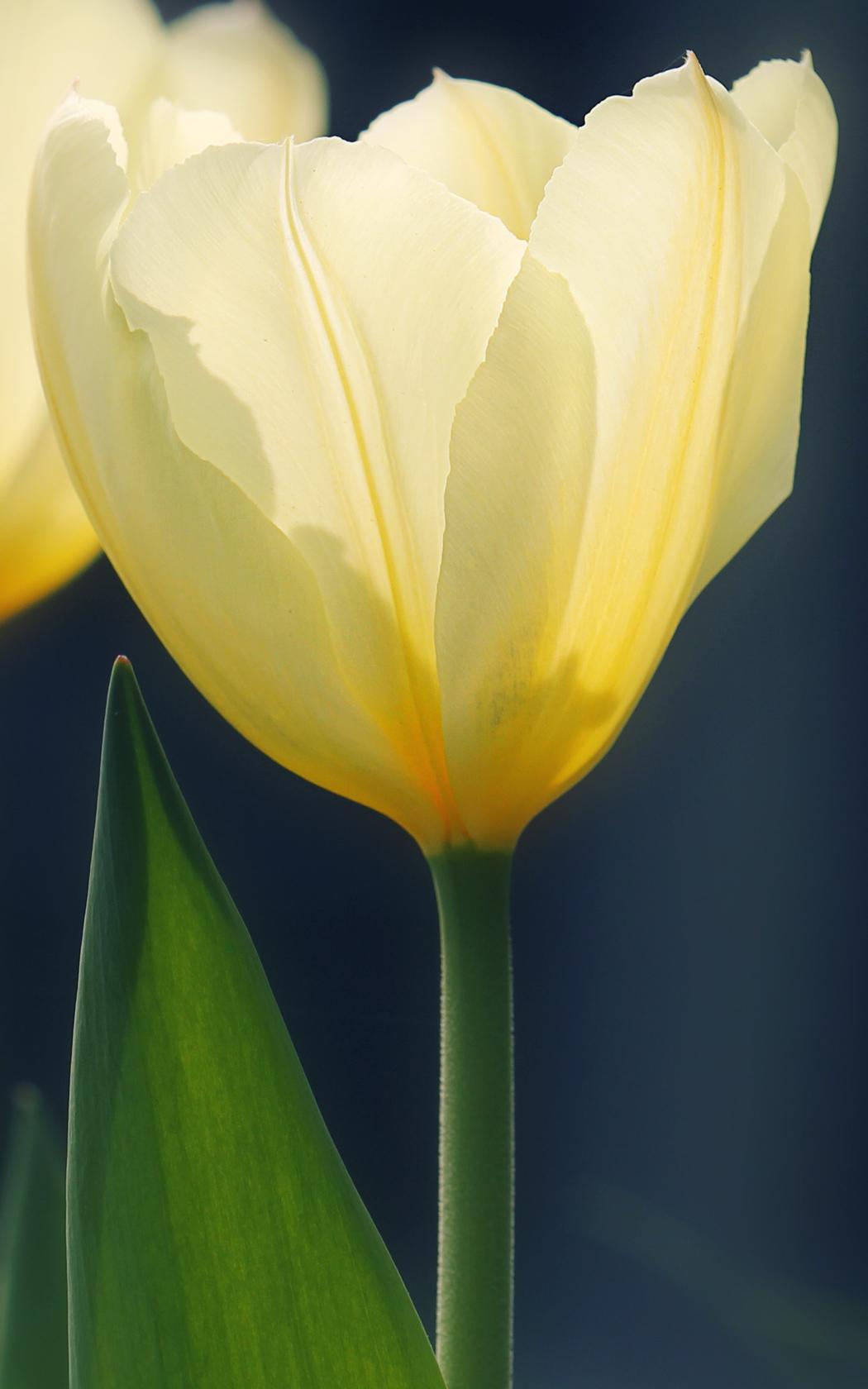 Tulpenbild - Tulpen Foto - gratis Foto