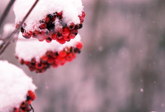 Verschneite Weihnachtsbilder.Weihnachtsbild Kostenlos Tannen Schneebedeckt