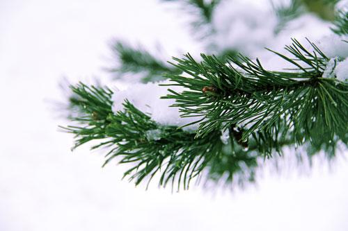 Weihnachtsbilder Tannenzweig.Weihnachtsbild Kostenlos Tannenzweig Mit Schnee